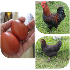 Vând oua incubat Marans negru arămiu