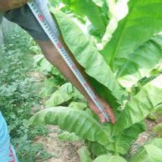 Seminte TUTUN VIRGINIA / BURLEY, recolta 2017, calitate superioara, 5 grame
