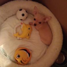 Chihuahua maxy toy pui 9 sap, mascul alb.aa - Caini