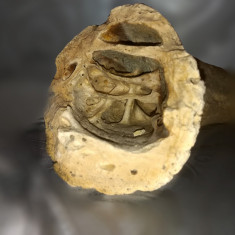 Corn fosilizat - Arheologie