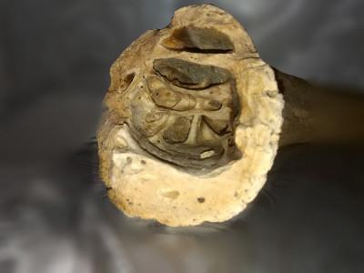 Corn fosilizat foto