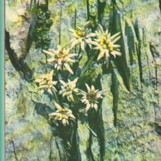 CPI (B9708) CARTE POSTALA - PLOIESTI. FLOARE DE COLT - Carte Postala Muntenia dupa 1918, Necirculata, Fotografie