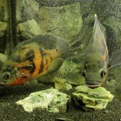 Pereche Astro Ocellatus Oscar Fish - Pesti