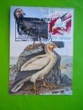 HOPCT MAXIMA 33871  VULTURUL HOITAR /NEOPHRON PERCNOPTERUS -CRAIOVA 1988 -PASARI, Romania de la 1950, Fauna