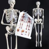"Model schelet anatomic model ""Gica"""