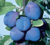 Prun Bluefre