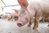 Porci Grași de vânzare - IEFTIN - Porc 230/260 Kg - 8 Lei Kg -