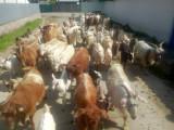 Vând 50 de capre cu iezi