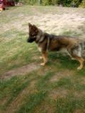 Cățelușă ciobanesc german