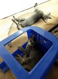 Pui pisica