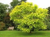 Catalpa bignoninoides Aurea – catalpa galbena