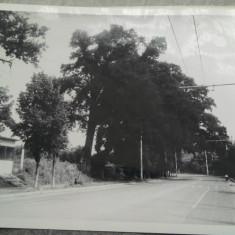 Fotografie Iasi, Bucium , Stejarul monument al naturii