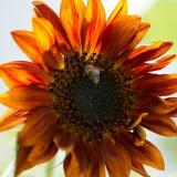 Floarea soarelui decorativa Velvet Queen- Helianthus Annuus