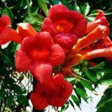 Campsis radicans Flamenco - Pipa turcului/ Luleaua turcului