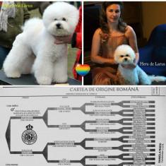 Bichon Frise cu pedigree, microcip si pasaport international