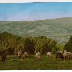 Vedere spre muntii Paring CIOBAN CU TURMA DE OI RPR EDITURA MERIDIANE - Carte Postala Transilvania dupa 1918, Necirculata, Printata