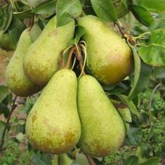 Pomi fructiferi
