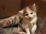 Pui de pisica persan-british shorthair