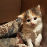 Pui de pisica persan-british shorthair - Pisica de vanzare