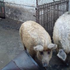 Porci rasa mangaliță.Eladó mangáli sertés