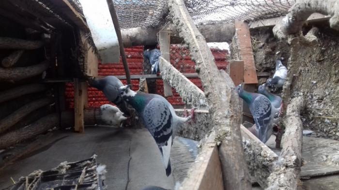 Porumbei de Zbor foto mare