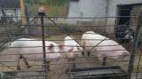 Vand porci rasa comuna Marele alb aprox.90-110 kg la 10LEI/KG in viu
