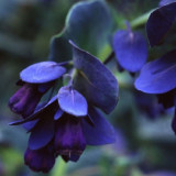 Cerinthe major purpurescens 20 seminte de flori rare