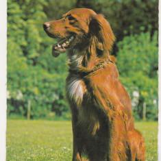 Bnk cp  Carti postale tematice - Caine - necirculata, Printata, Germania