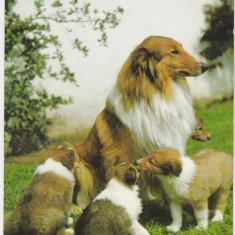 Bnk cp  Carti postale tematice - Caini - Collie - necirculata, Printata, Germania