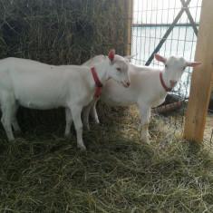 Iezi (masculi) saanen - Oi/capre