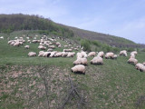 Vand oi si capre