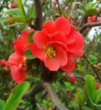Chaenomeles Speciosa – Gutuiul Japonez - 50 seminte