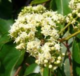 Hovenia Dulcis - 50 seminte