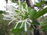 Chionanthus Virginicus - arbust ornamental