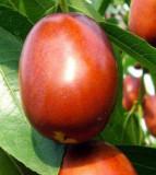 Ziziphus jujuba - curmalul chinezesc-30 seminte