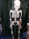 CRaniu Uman,Schelet,Anatomie,Schelet didactic corp uman,organe interne,T.GRATUIT