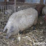 •Mangalita, porc pentru sacrificare 80-200 kg