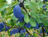 Vand tuica de prune -52 grade- productie 2018