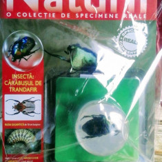 Minunile Naturii - Insectă - Cărăbușul de trandafir  , revistă și specimen real