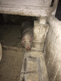 De vânzare porc gras în Sântana