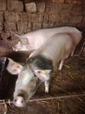 Porc de vinzare