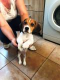 Beagle Pui
