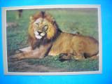 HOPCT 38698 LEU AFICAN -PARCUL NATIONAL KRUGER-AFRICA DE SUD-RSA-NECIRCULATA, Printata