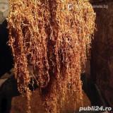 Tutun firicel superior +aroma tutun -fara cotoare si mucegai 1 kg=125 lei-