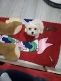 Vând bichon mini toy crem