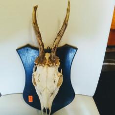 Trofee caprior  , in stare f. buna de conservare.