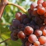 Pinot Gris vita de vie set 25 butasi