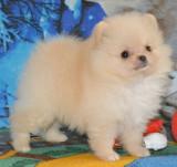 Vand catei Pomeranian