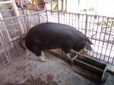 Porc de sacrificat