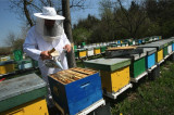 APICULTURA - totul despre albine si apicultura